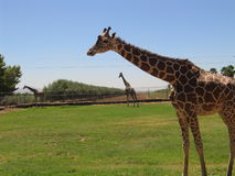 Giraffes. At Zoo stock images