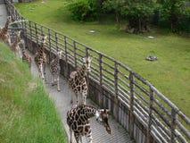 giraffes Стоковые Изображения RF