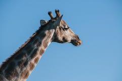 Giraffe's头 免版税库存图片
