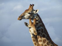 Giraffes. Another photo of that sparring match Royalty Free Stock Images