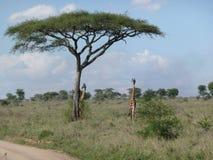 giraffes 2 Стоковое фото RF