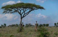 giraffes 2 Стоковые Изображения RF