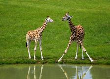 Giraffes. Couple of young giraffes on the grass by the water Royalty Free Stock Image