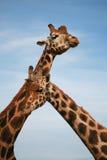 Giraffes Royalty Free Stock Photo