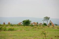 giraffes Imagen de archivo