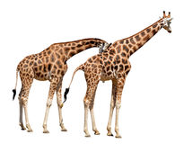 giraffes Imagens de Stock Royalty Free