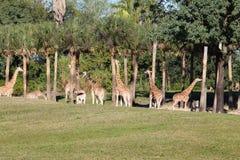 giraffes Fotografia Stock Libera da Diritti