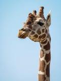 giraffes Fotografie Stock