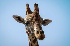 giraffes Fotografia Stock