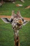 giraffes Immagine Stock