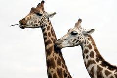 giraffes Photos libres de droits