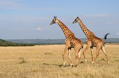 Giraffes Fotografia de Stock