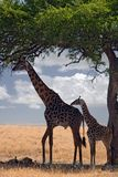 Giraffes. Under tree Stock Image