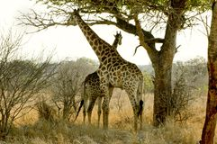 Giraffes. Two African giraffes standing underneath an Amarula tree Stock Photography