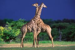 Free Giraffes Royalty Free Stock Images - 548409