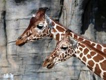 giraffes Стоковые Фото