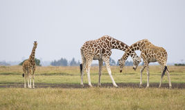 Giraffes. Three giraffes, Giraffa camelopardalis reticulata, Republic of Kenya, Eastern Africa royalty free stock photos