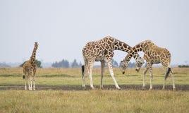 giraffes Στοκ φωτογραφίες με δικαίωμα ελεύθερης χρήσης