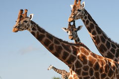 Giraffes Photos stock