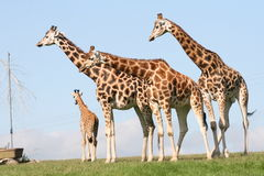 Giraffes. Funny animals, they are living in big groups, quite friendly, each of them has different pattern of the body Royalty Free Stock Photo