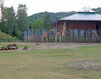 giraffes Стоковое Фото