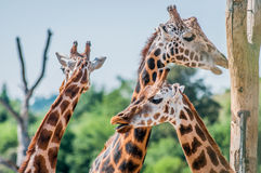 giraffes Imagen de archivo libre de regalías