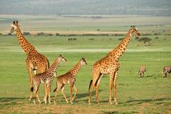 Giraffes Imagem de Stock