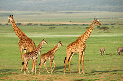 giraffes Image stock