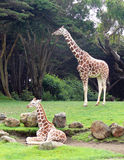 Giraffes. At the San Francisco Zoo stock photo