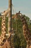 giraffes Fotografie Stock Libere da Diritti
