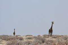 Giraffes. In the Etosha National Park, Namibia stock image