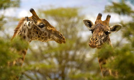 Giraffes Photographie stock libre de droits