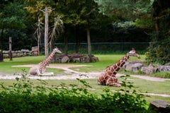 giraffes 2 Стоковые Фотографии RF