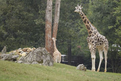 giraffes Fotos de archivo libres de regalías