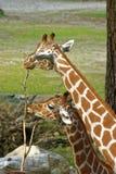 giraffes στοκ εικόνες