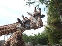 Giraffes2 Стоковое Фото