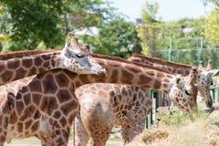 giraffes Immagini Stock Libere da Diritti