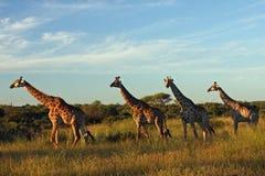 Giraffes. Trots through wilderness in Africa Royalty Free Stock Photos
