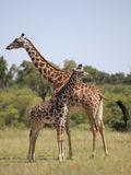 giraffes Στοκ Φωτογραφίες