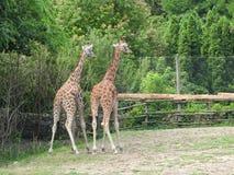 giraffes Стоковое Изображение RF