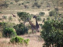 Giraffes. Africa Royalty Free Stock Images