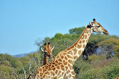 giraffes Fotografía de archivo