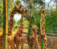 giraffes immagine stock libera da diritti