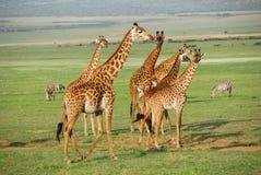 Giraffes Foto de Stock