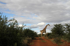 Giraffes in action. Landscape photo of giraffe in action. Blue and cloudy sky. The South African giraffe or Cape giraffe (Giraffa camelopardalis giraffa) is a royalty free stock images