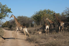 Giraffes in Africa royalty free stock image