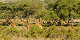 Giraffes in Africa Royalty Free Stock Photo