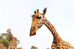Giraffes in africa Stock Photography