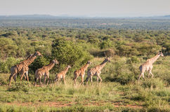 Giraffes of Africa Stock Photo