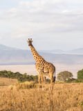 Giraffes in Africa. Giraffe on the rim of the Ngorongoro Crater in Tanzania, Africa, at sunset Stock Image